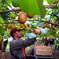 Kiwifruit picking