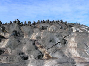 Seal colony, Chatham Islands