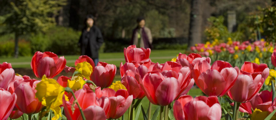 Colourful tulips at the Christchurch Botanic Gardens