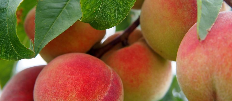 Scrumptious Peaches