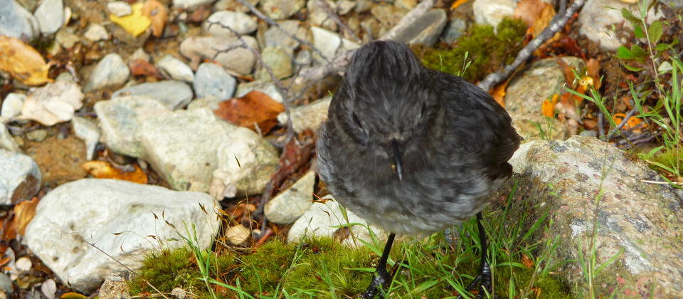 Getting up close to a New Zealand Bush Robin