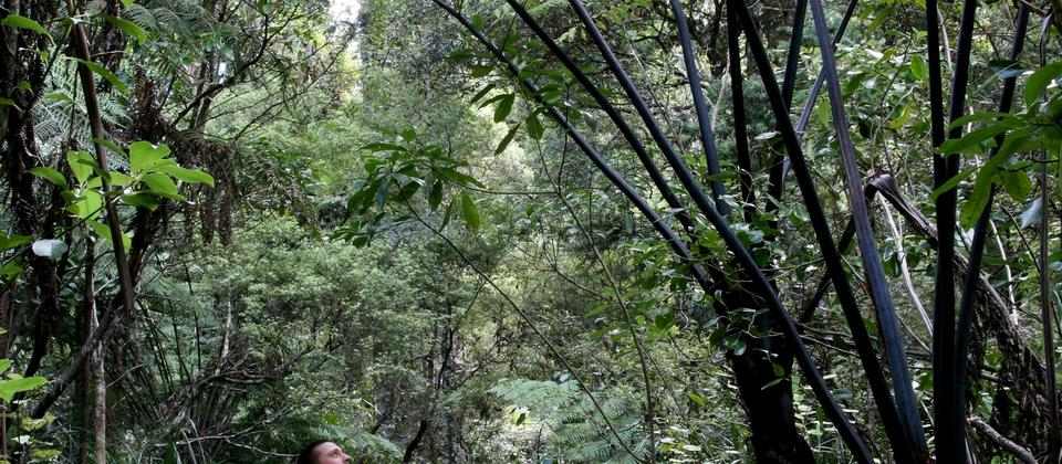 Guided Forest Walks - Adventure Puketi - Giant Silver Fern tower above walkers in the Bay of Islands.