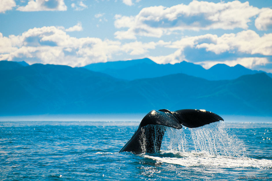 The waters off the coastal town of Kaikoura are a haven for several species of whale.