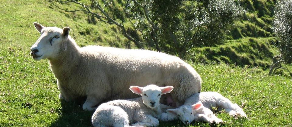A mother with her lambs on a Muriwai farm in Spring
