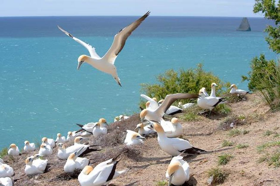 Gannet-Colony