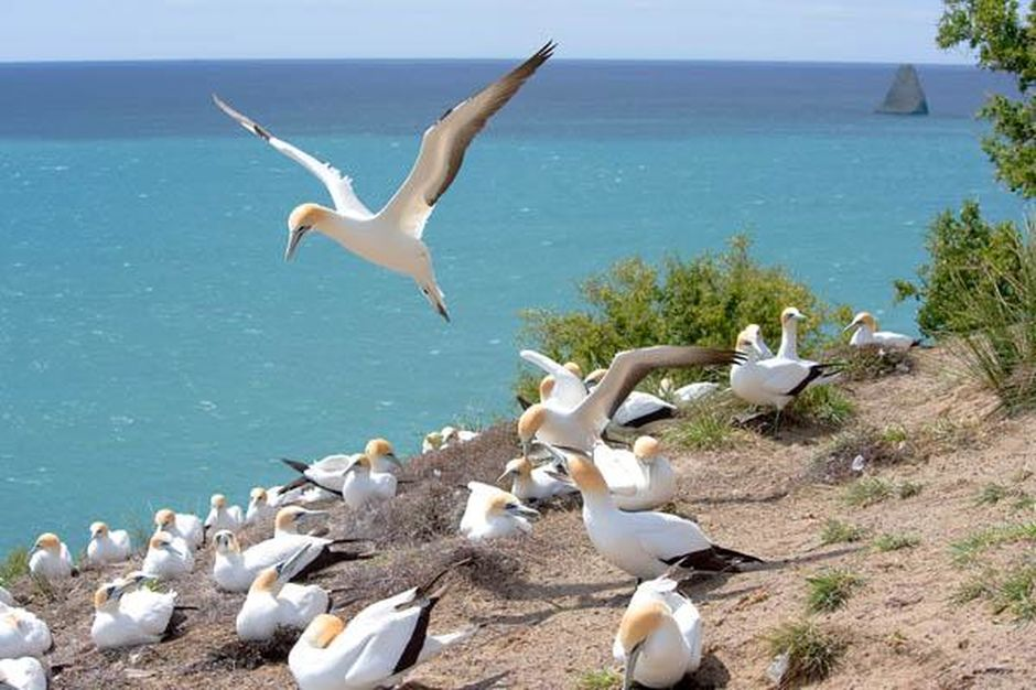 Cape Kidnappers also has one of the largest mainland gannet colonies in the world