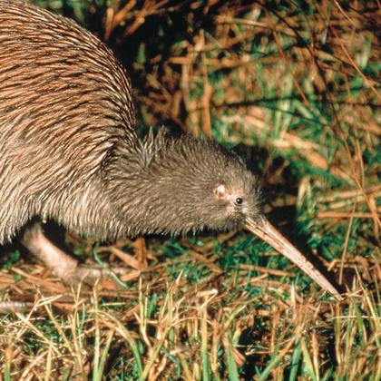 Five Surprising Kiwi Facts 100 Pure New Zealand