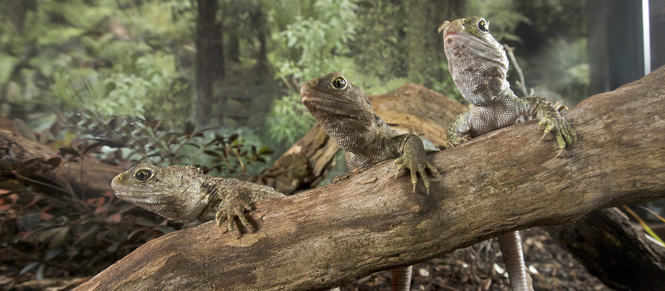 Tuatara are known as New Zealand's 'living fossils'.