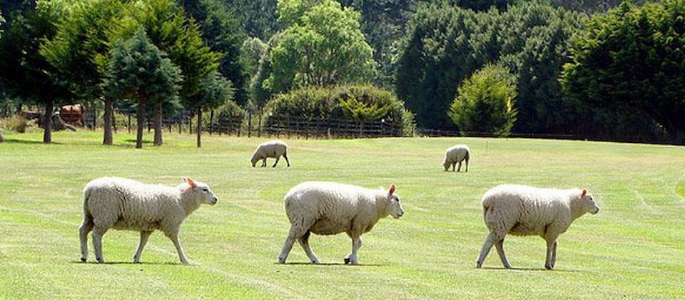 Sheep in Eketahuna