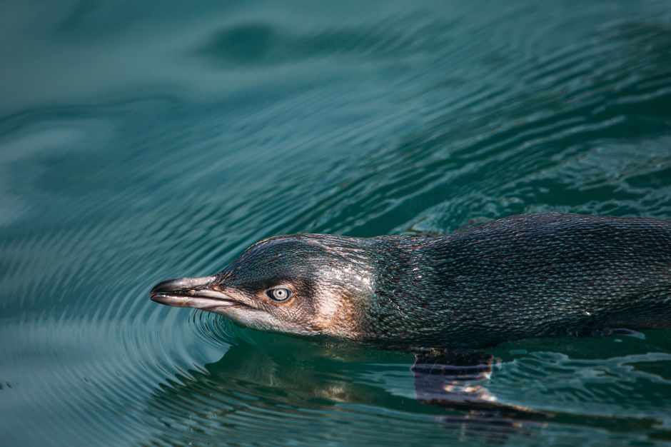 Little Blue Penguins are sometimes sighted on our snorkeling trips