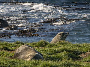 Seals at Moeraki