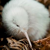 Meet Pukaha's most famous resident, Manukura, a rare white Kiwi, at this nature reserve and conservation project.
