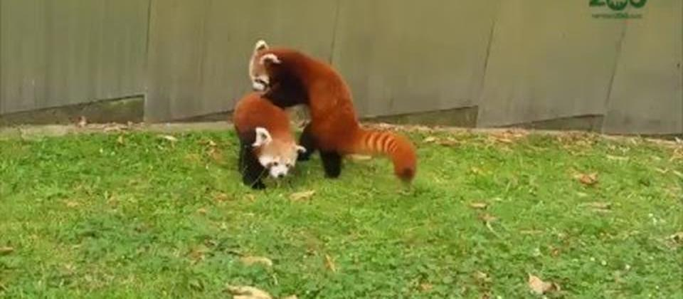 Hamilton Zoo Red Pandas at Play